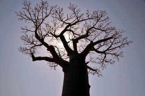 africa tree