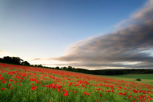 sussex poppies england