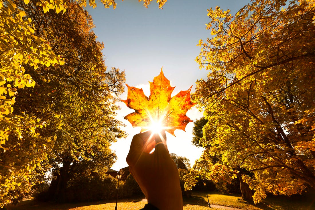 Canada maple leaf in hand held up to autumn sun for feature on Canada M&A, marijuana, recreational drugs